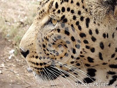 Leopard in South Africa.