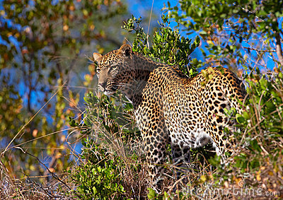 Leopard standing in savannah