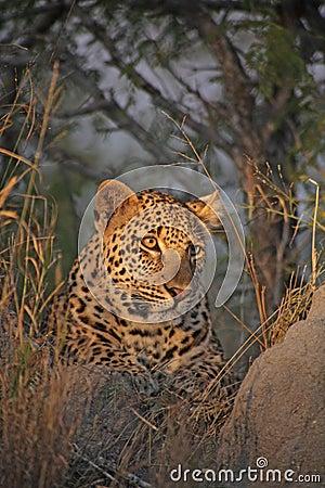 Leopard on a Termite Mound