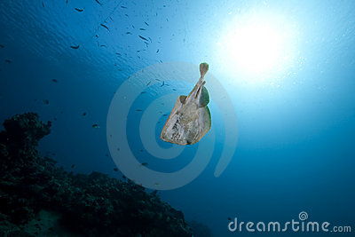 Leopard torpedo ray and ocean