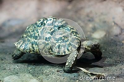 Leopard tortoise (lat. Geochelone pardalis)