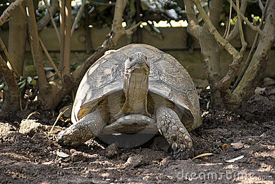 Leopard Tortoise in the Shade