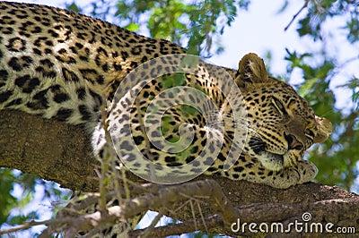Leopard in tree eyes open
