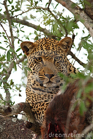 Leopard in a tree with kill