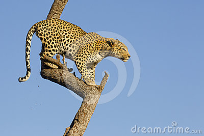 Leopard in tree, South Africa
