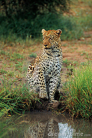 Leopard waiting at watering hole
