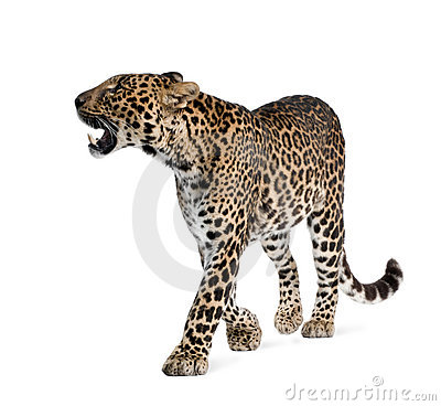 Leopard walking in front of a white background