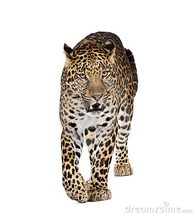 Leopard Walking In Front Of A White Background Stock Photography - Image: 10929662