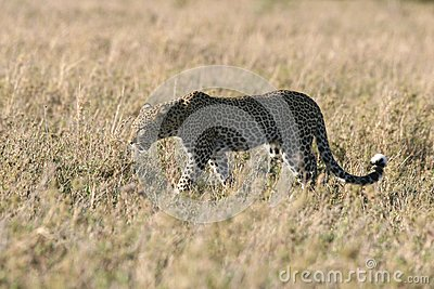 Leopard walking through grass