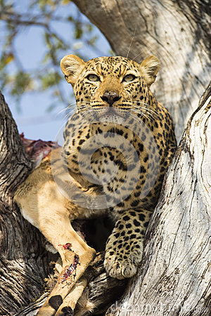 Free Leopard With Kill Royalty Free Stock Photography - 58599907