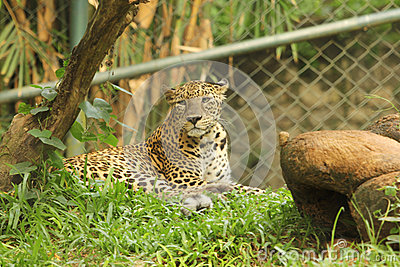 Leopard in zoo