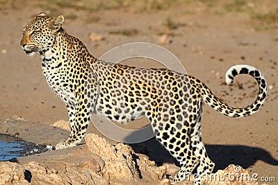 femea leopardo vs macho leopardo nebuloso Leopardo-thumb13929256