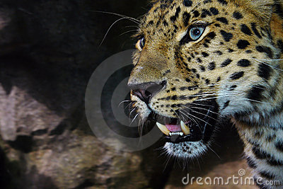 Leopardo de Amur no prowl