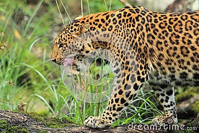 Leopardo de China del norte