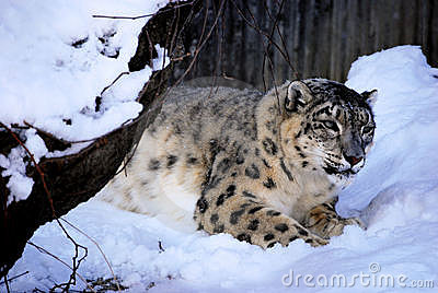 Leopardo de neve de desengaço