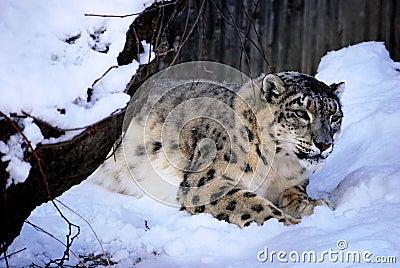 Leopardo de nieve de acecho