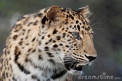 Leopardo del Amur
