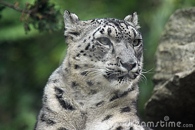 Leopardsnow