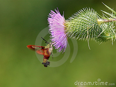 Lepidottero di Clearwing del colibrì