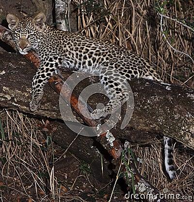 Leppard cub