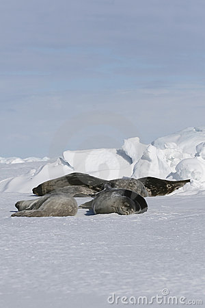 Leptonychotes fok weddell weddellii