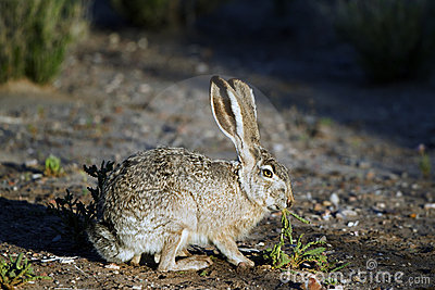 Lepus californicus jackrabbit