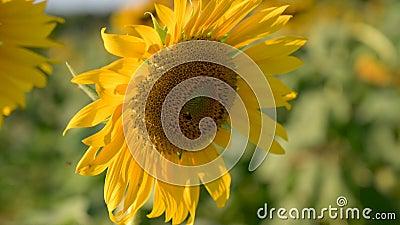 Les abeilles et les insectes envahissent le tournesol jaune le soir de lumière dorée VDO 4K banque de vidéos