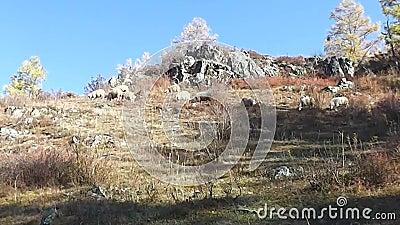 Les animaux de compagnie gorgent de chagrin à l'automne mangent de l'herbe clips vidéos