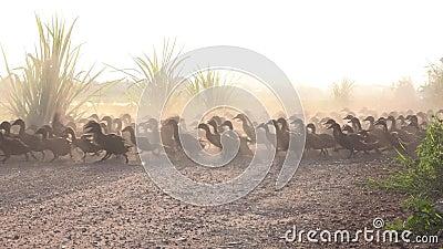 Les canards se précipitent tôt le matin pour travailler dans les rizières banque de vidéos