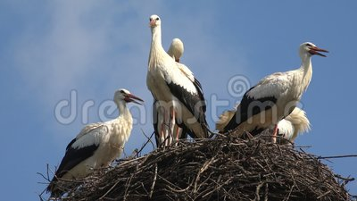 Les cigognes nichent sur un Polonais, l'embo?tement de famille d'oiseaux, vol?e des cigognes en ciel, vue de nature banque de vidéos