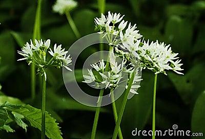 Les fleurs blanches de ramsons ou d 39 ail sauvage ursinum d - Ou trouver ail des ours ...