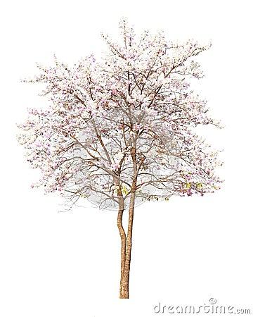 les fleurs de cerisier roses sakura fleurissent sur le fond blanc photo stock image 39490266. Black Bedroom Furniture Sets. Home Design Ideas