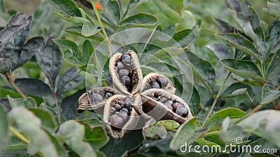les fleurs de pivoine ouvrent la bo te de graines avec des graines en vent banque de vid os. Black Bedroom Furniture Sets. Home Design Ideas