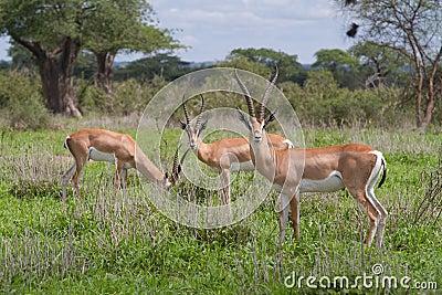 Les gazelles de Grant