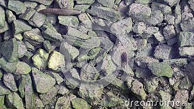 Les repos de têtard sur les algues vertes ont couvert des pierres dans l'eau banque de vidéos