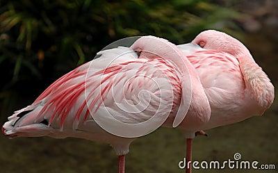 Lesser flamingo 005