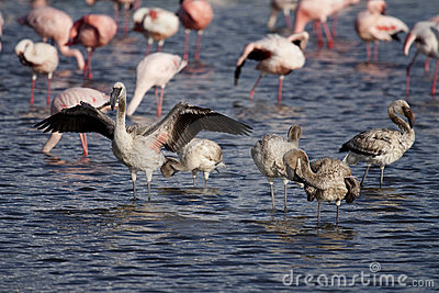 Lesser flamingo young, Lake Nakuru