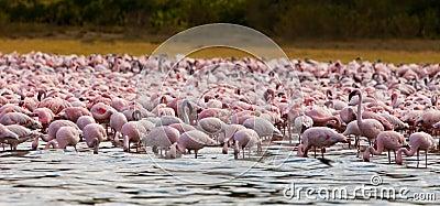 Lesser Flamingos at Naiwasha Lake