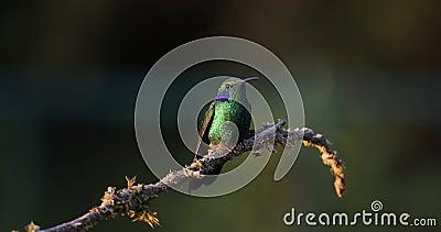 Lesser halny ucho, kruszcowi zieleni hummingbird gatunki powszechnie zakłada od Costa Rica żadny Violetear, Colibri cyanotus - zdjęcie wideo