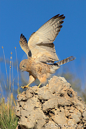 Lesser kestrel landing on rock