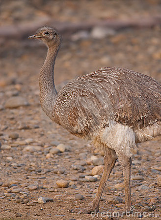 Free Lesser Or Darwin S Rhea Royalty Free Stock Photos - 14032958