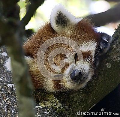 Lesser panda 4