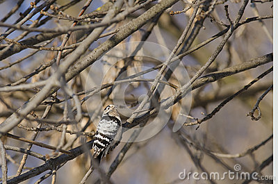 Lesser Spoted Woodpecker