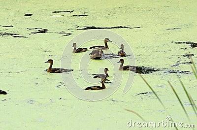 Lesser whistling duck (Dendrocygna javanica)
