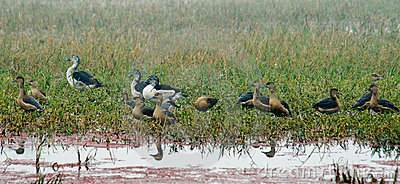 Lesser Whistling-ducks and Comb Ducks