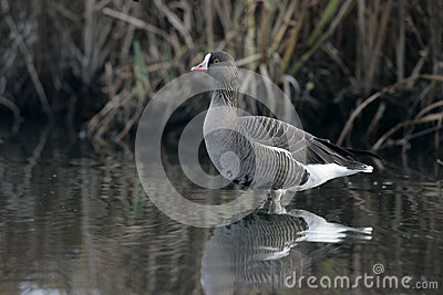 Lesser white-fronted goose, Anser erythropus