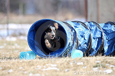 Let`s try agility! Dog is going through the tunnel