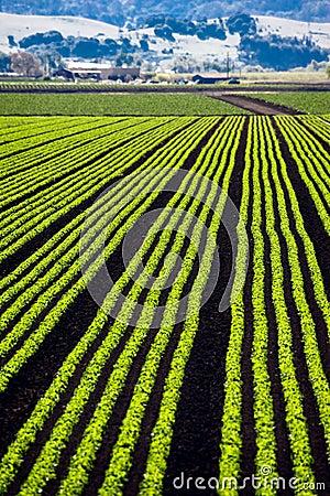 Lettice Rows
