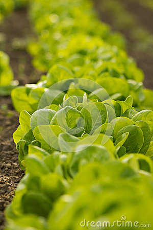 Lettuce Royalty Free Stock Photo - Image: 25163095