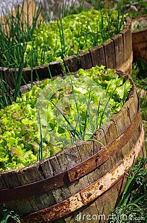Lettuce Culture